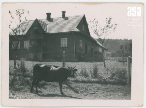 Krowa Winocha na łące przez gospodarstwem, fot. J. Magiera